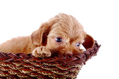 Portrait of a small puppy of a decorative doggie in a wattled basket. Stock Photos