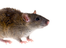 Portrait of a small rat Royalty Free Stock Photo
