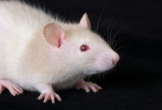 Portrait of small rat Royalty Free Stock Photography