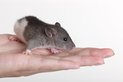 Portrait of a small rat. Very small young rat on a palm Royalty Free Stock Image