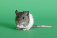 Portrait of a small rat. Very small infant rat on a green background Stock Image