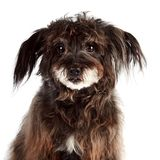 Portrait of a small shaggy mongrel Royalty Free Stock Photography
