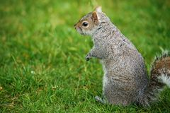 Portrait of small squirrel in park. Animal photography in nature Royalty Free Stock Photos