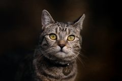Portrait of Small Tabby Cat. A pretty tabby cat with piercing amber eyes stares beyond the camera. in this facial portrait royalty free stock image