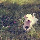 Pit bull puppy in the park stock images