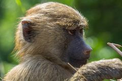 Portrait of small yellow baboon with blured background royalty free stock image
