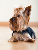 Portrait of small Yorkshire Terrier dog Stock Images