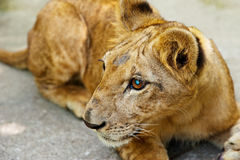 Portrait of small young lion Stock Image