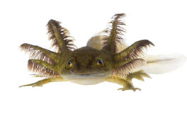 Portrait of a smiling Axolotls are members of the Ambystoma tigr Stock Image