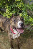 Portrait of a smiling brindle pitbull from above Stock Photography