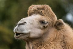 Portrait of a smiling camel stock photo