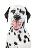 Portrait of a smiling Dalmatian royalty free stock images
