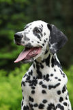 Portrait of smiling dalmatian puppy in the garden Stock Photos