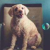 Portrait of smiling dog around soap bubbles. Portrait of a poodle sitting in a chair smiling with soap bubbles around him stock image