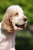 Portrait of smiling English Cocker Spaniel puppy Stock Photos