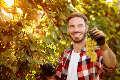 Portrait of smiling farmer harvesting the grapes. In vineyard Royalty Free Stock Photo