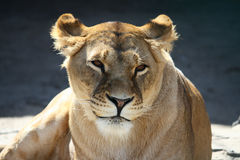 Portrait of smiling lioness Stock Photo