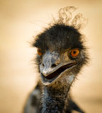 Portrait of a smiling  ostrich Stock Photos