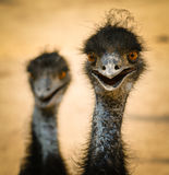 Portrait of a smiling  ostrich Royalty Free Stock Image
