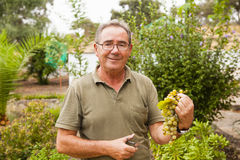 Portrait of smiling senior man harvesting white grapes. Royalty Free Stock Photos