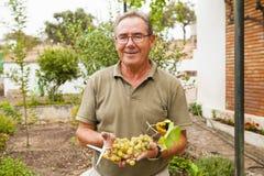 Portrait of smiling senior man harvesting white grapes. royalty free stock photos