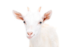 Portrait of a smiling young goat Stock Images