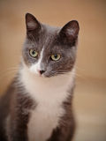Portrait of a smoky-gray domestic cat. Royalty Free Stock Photo