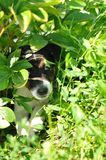 Puppy hiding Stock Photo