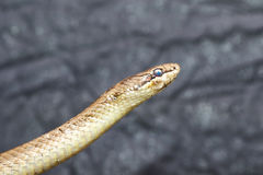 Portrait of smooth snake over grey background Royalty Free Stock Photos