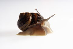 Portrait of snail Stock Photo
