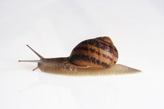 Portrait of snail Stock Photography
