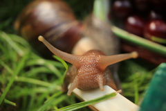 Portrait of snail. In the garden Royalty Free Stock Images