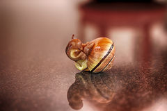 Portrait of a snail, mollusk gastropods, close-up,  on the surface Royalty Free Stock Photos