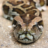 The portrait of a snake from front Royalty Free Stock Images