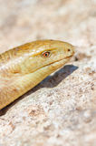 Portrait of a snake on stone background. Stock Image