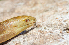 Portrait of a snake on stone background. Pseudopus apodus Stock Images