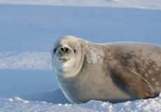 Portrait snarling crabeater seal on a sunny day. Royalty Free Stock Photos