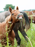 Portrait of sniffle  arabian foal at the pasture. Life in herd Stock Image