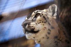 Portrait Snow Leopard Royalty Free Stock Images