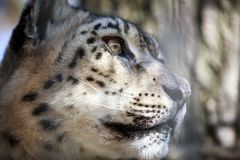 Portrait Snow Leopard Royalty Free Stock Photography
