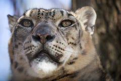 Portrait Snow Leopard Stock Photo