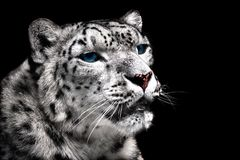 Portrait of snow leopard. royalty free stock photography