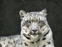 Portrait of Snow Leopard Looking Right at You. Closeup Portrait of Snow Leopard Looking Right at You Stock Images
