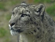 Macro of the head of a snow leopard royalty free stock photos