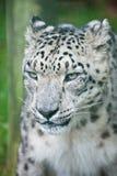 Portrait of Snow Leopard Panthera Uncia Stock Photo