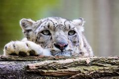 Portrait of a snow leopard, Uncia uncia Royalty Free Stock Photo