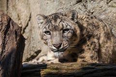Portrait of a snow leopard Uncia uncia Stock Images