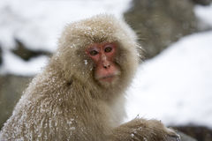 Portrait of a snow monkey Stock Photo