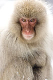 Portrait of a snow monkey. Japanese Macaque, Jigokudani Monkey Park, Snow monkey looking directly at the camera with backlight stock images