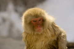 Portrait of a snow monkey. Japanese Snow mokey backlite, close up on face showing expression Japanese Macaque, Jigokudani Monkey Park, Snow monkey royalty free stock photography